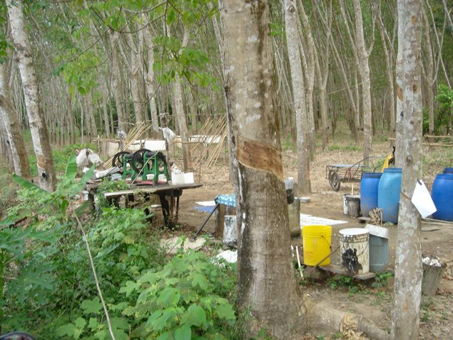 Rubber Tree Farm in Ko Chang Thailand